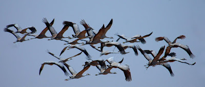 Common Cranes in flight – World Migratory Bird Day