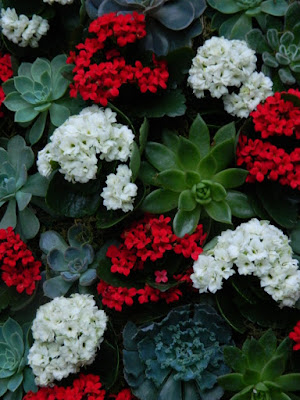 Allan Gardens Conservatory 2017 Christmas Flower Show Christmas tree topiary detail red and white kalanchoes by garden muses-not another Toronto gardening blog