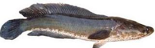 11 Khasiat Ikan Gabus Bagi Kesehatan