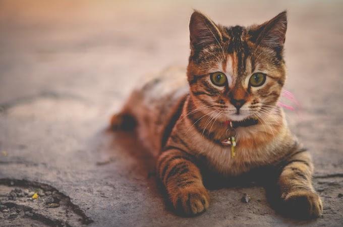 Kedilerde Göz Yaşarması Neden Olur?