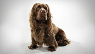 Everything about your Sussex Spaniel