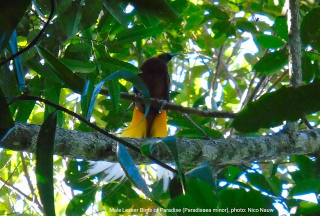 Cendrawasih Kuning (Paradisaea minor)