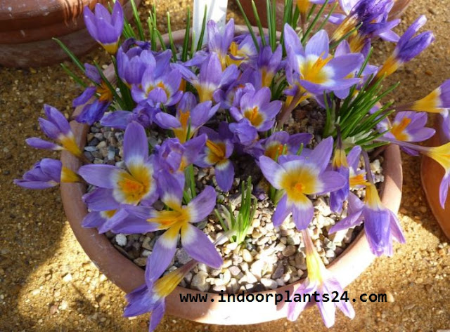 Crocus Plant Iridaceae Dutch Crocus Plan