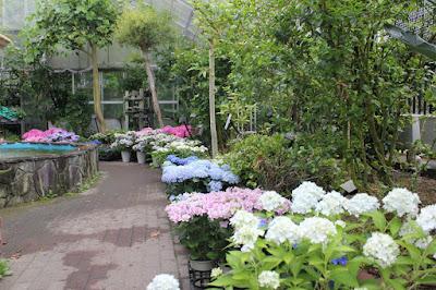 箱根 強羅公園のアジサイ