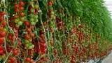 Tomat Permata F1- Gambar pohon tomat