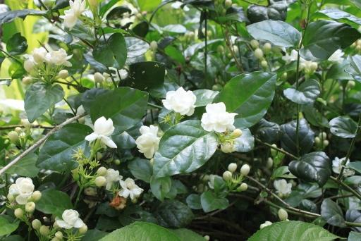 Jasmine Flowers Plant