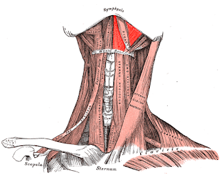 mylohyoid muscle, action, muscle picture