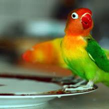 Cara Mengatasi Lovebird Lomba Yang Kurang Birahi