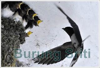 burung sriti sedang meloloh