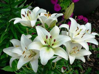 Gambar Bunga Lili Putih Yang Cantik_White Lily 2016010