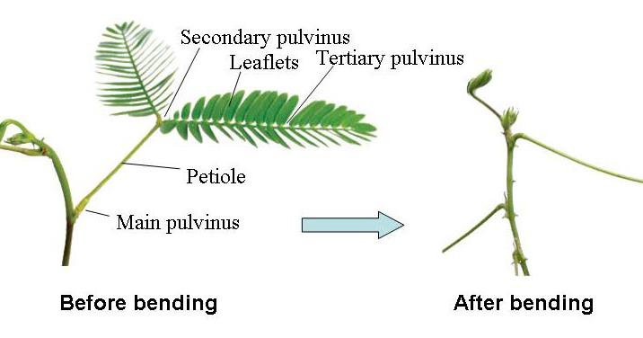 Mimosa pudica la plante sensitive qui se referme au Bureau qui se referme