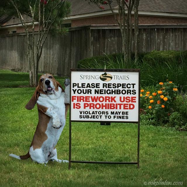 Basset Hound with No fireworks sign