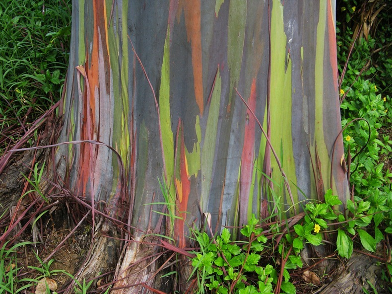 World Places And Forwarded Mails Rainbow Eucalyptus The Most
