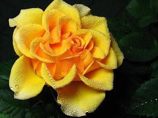 Комнатная роза - залог семейного счастья!