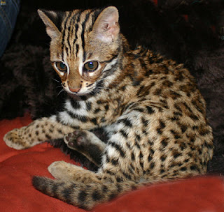 Marbled Cat Pardofelis Marmorata Enter Your Blog Name Here