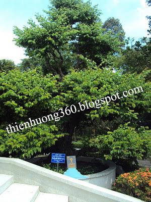 Lăng cụ Phó Bảng: Cây khế được trồng từ năm 1727