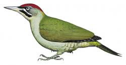 Maghreb green Woodpecker