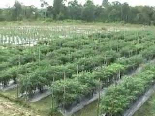usaha pertanian masyarakat solok selatan yang paling efektif