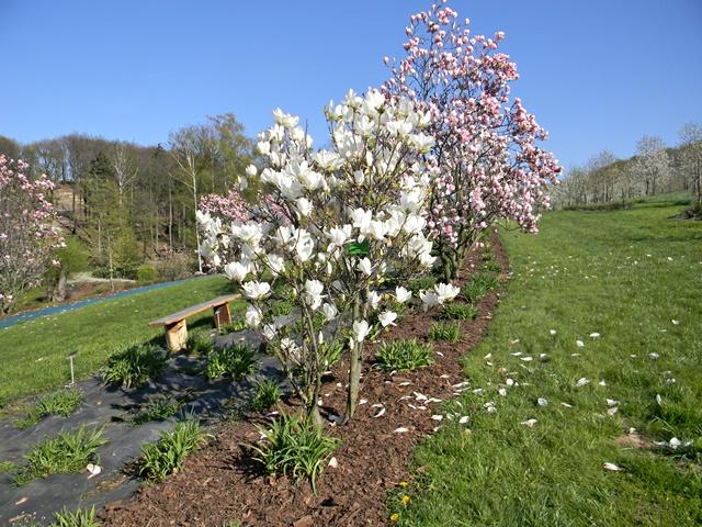 magnolie w Wojsławicach wiosną są piękne