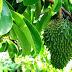 Membuat Pestisida Sendiri untuk Pertanian Organik