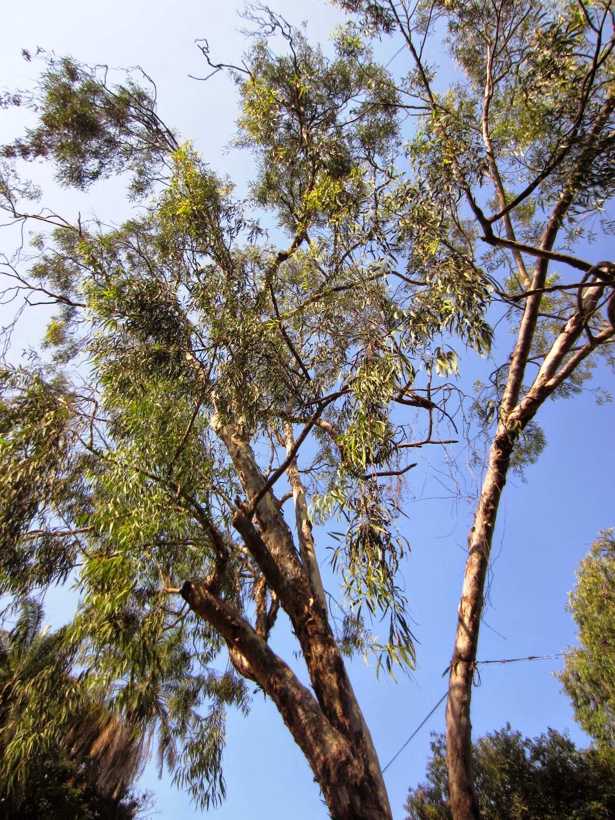 Lemon Scented Gum Tree