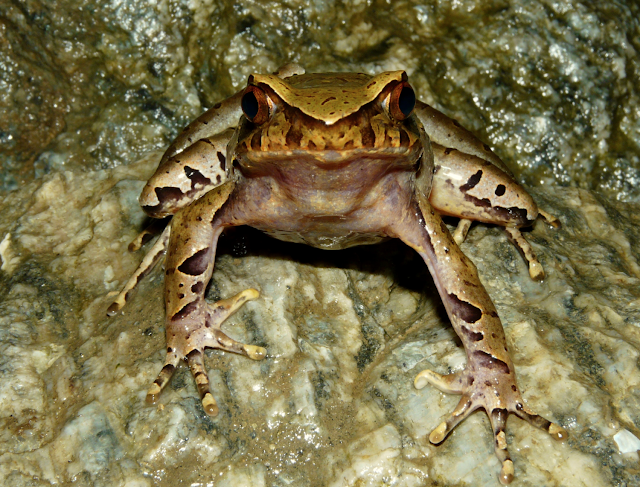 Timetree dating in the absence of a fossil record in Asian Horned Frogs