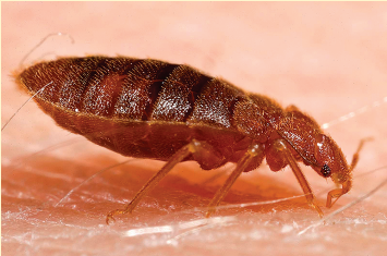 10 facts about bedbugs