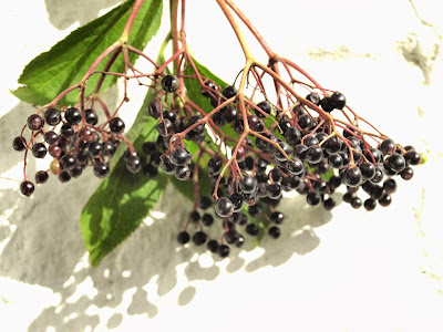 An image of a bunch of elderberries (Sambucus nigra)