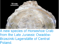 https://sciencythoughts.blogspot.com/2014/10/a-new-species-of-horseshoe-crab-from.html