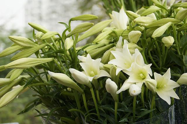 y nghia hoa loa ken