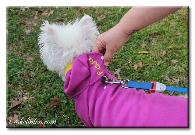 White West Highland Terrier with purple PrideBites hoodie showing the leash opening