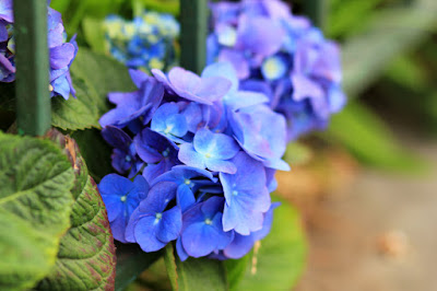 Blue Hydrangeas Flower Photography by Mademoiselle Mermaid