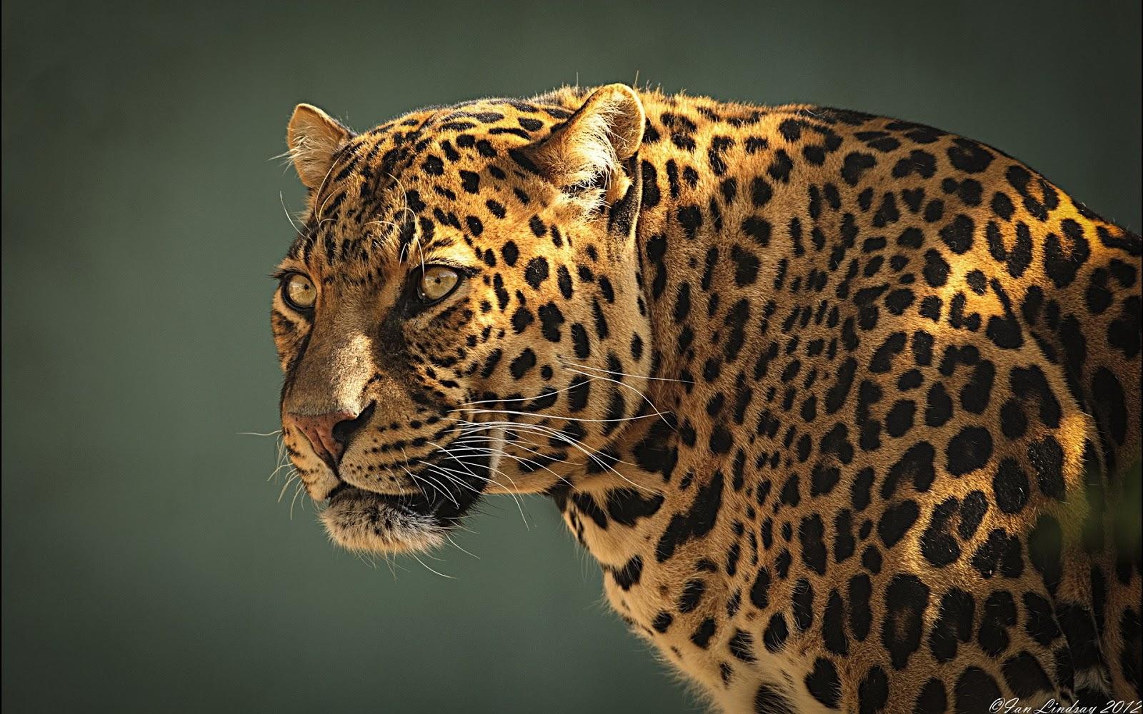 Fondo De Pantalla De Leopardo Fondos De Pantalla Gratis: Fondos De Pantalla HD