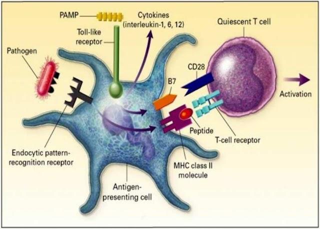 Su'est ce que Les Cellules Dendritiques en immunologie? - Notions