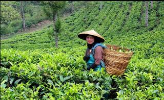 आपको चाय की खोज कैसे हुई, क्या आप इस राज की बात नहीं जानते आईए  जानते हैं
