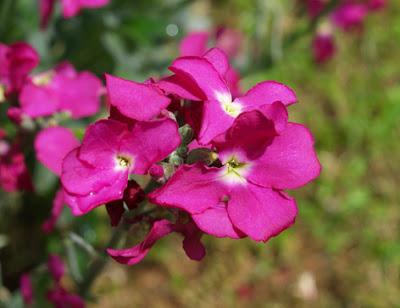 flor del alhelí