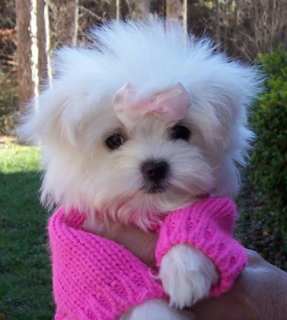 Cute Puppy Dogs: Maltese puppies