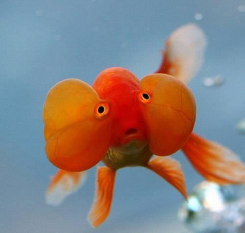 سمكة الذهبية العجيبة العين الفقاعية