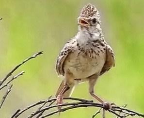 Cara Membedakan Burung Branjangan Jantan Dan Betina