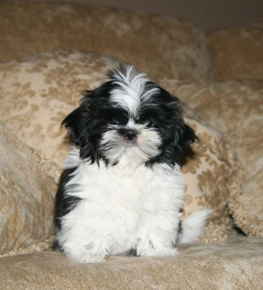 Cute Puppy Dogs: Shih Tzu Puppies