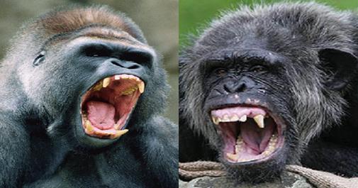 Gorilla Vs Orangutan Fight