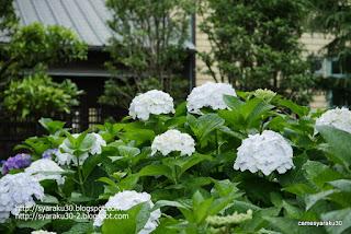 咲き揃う白いアジサイの写真