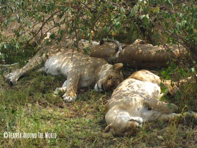 Leonas descansando en Masai Mara