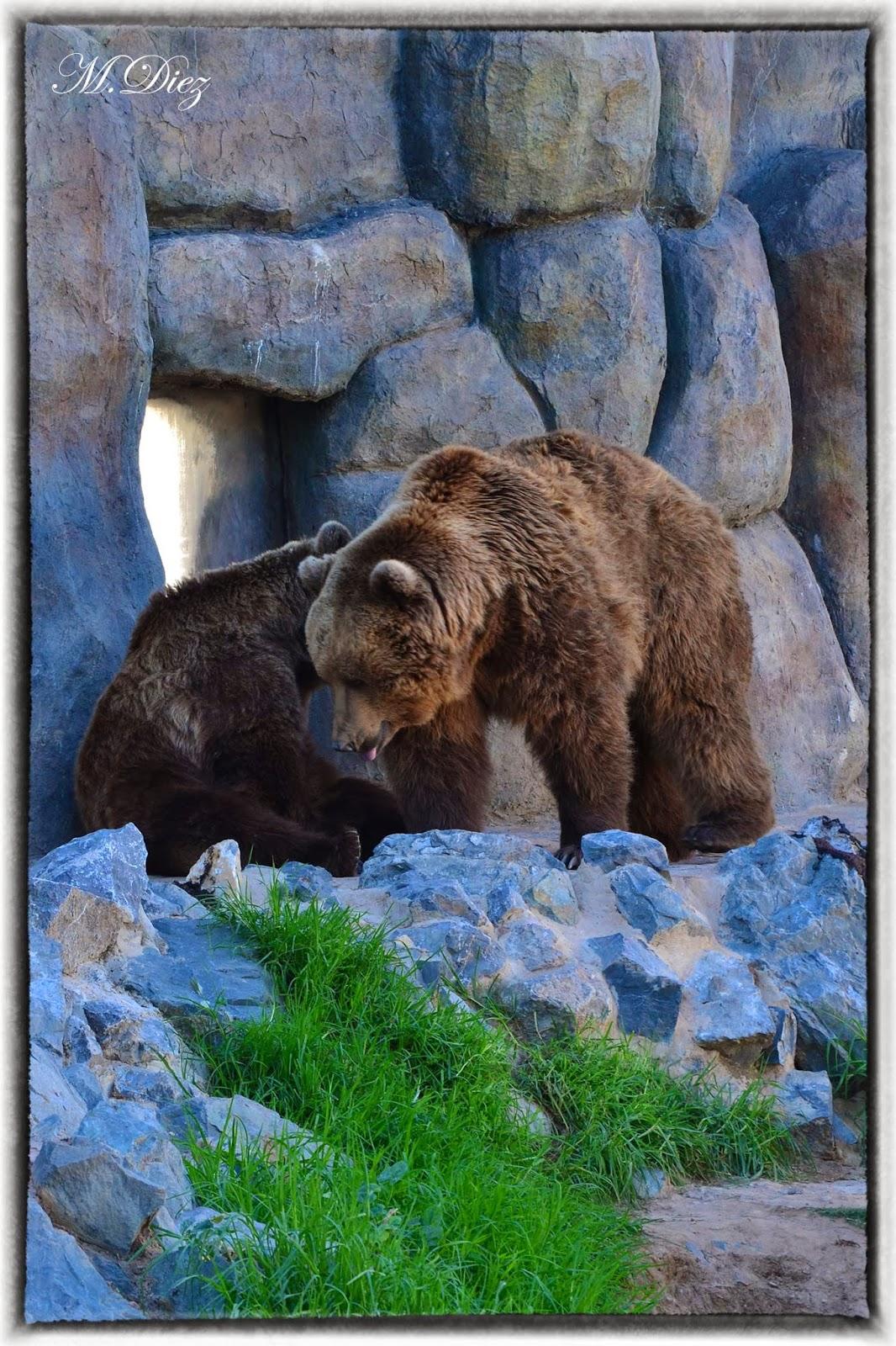 En el zoo: Oso Pardo   Mamen Diez Photography