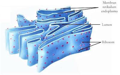 gambar dari retikulum endoplasma kasar