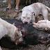 Cộng đồng lên án việc lạm dụng động vật tàn nhẫn khi tổ chức tử chiến giữa chó săn và lợn rừng ở Hà Nội