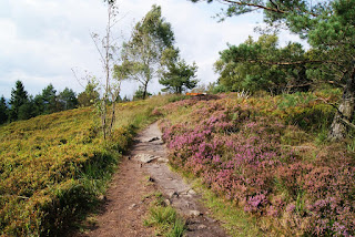 Eine blühende Heidefläche am lippischen Velmerstot