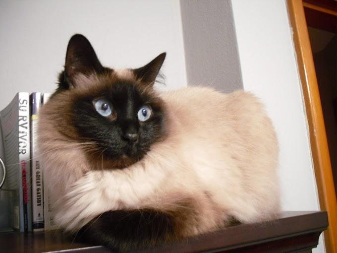 Este gato nunca te fallará y es uno de los más fieles del mundo: El gato balinés