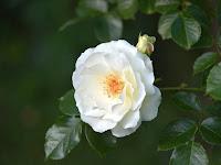 Langkah - Langkah Menanam Bunga Mawar Putih Dengan Media Pot