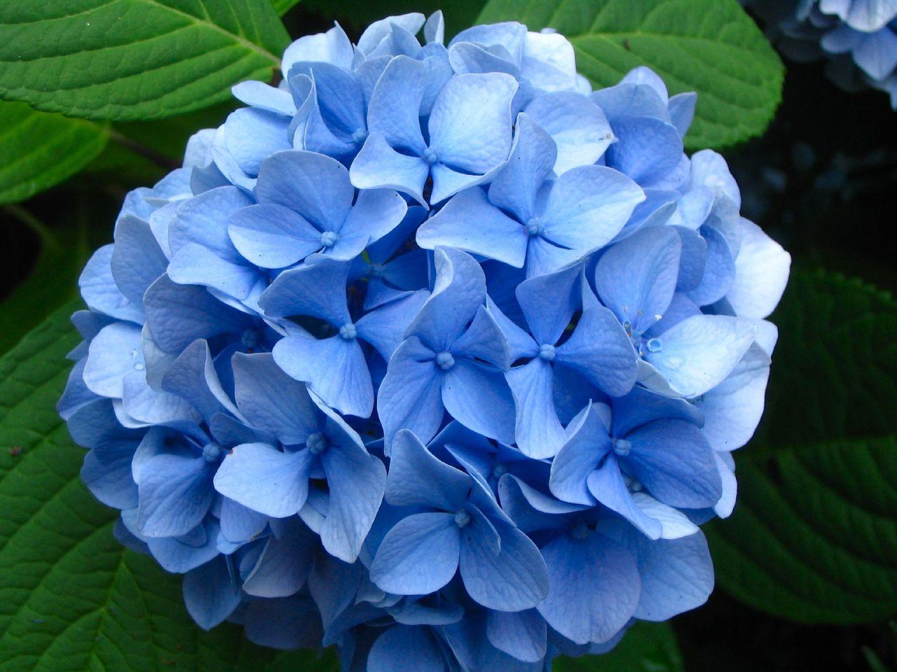 Dr. Dan's Garden Tips: The Range of Hydrangea  Blue